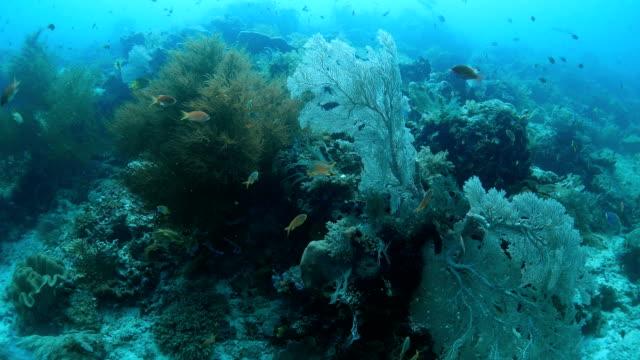 カラフルな海のサンゴ礁の魚のゴールディ - ゴーゴニアンコーラル点の映像素材/bロール