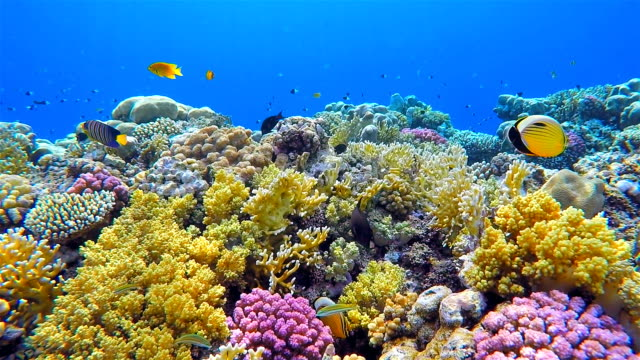 colorful sea life coral reef with lot of fisch on red sea - sottomarino subacqueo video stock e b–roll