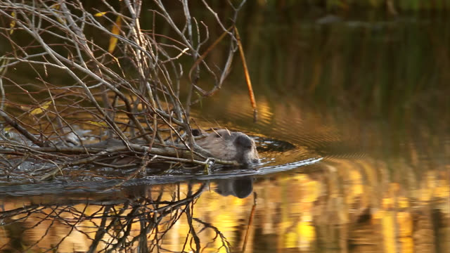 ms  4k colorful shot of a beaver (castor canadensis) swimming in a pond with a mouthful of twigs - beaver stock videos & royalty-free footage