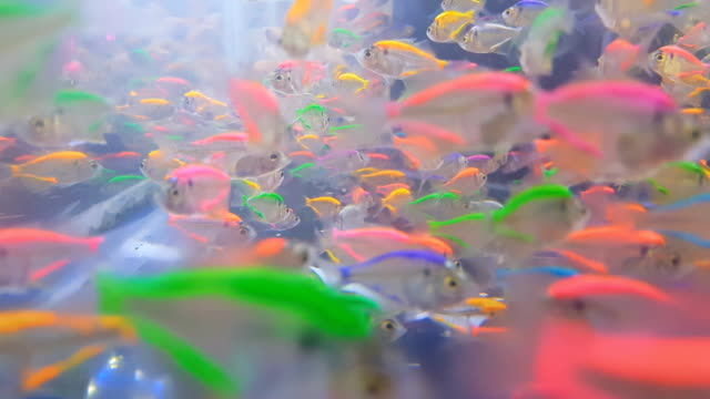 colorful siamese glass-fishes color nature relax pets home freshwater aquarium - glass fish stock videos & royalty-free footage