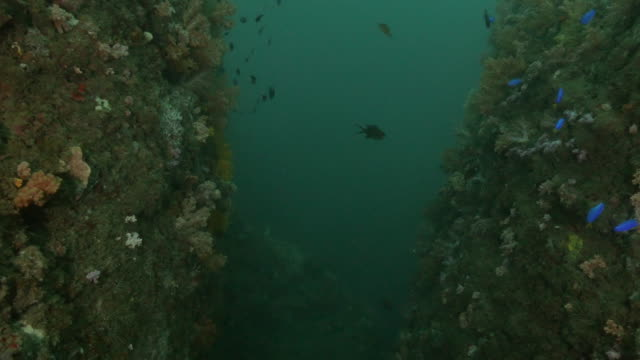 colorful soft coral colony at undersea cliff, taiwan - soft coral stock videos & royalty-free footage