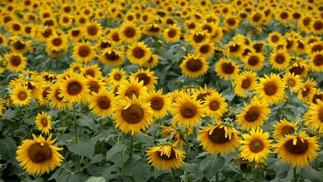 stockvideo's en b-roll-footage met kleurrijke zonnebloem veld en wind - zonnebloem