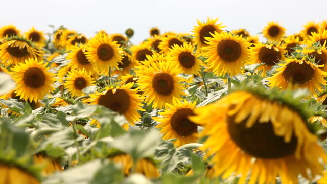 colorful sunflower field - sunflower stock videos and b-roll footage