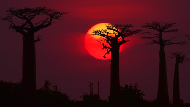 colorful sunset with baobab - east africa stock videos & royalty-free footage