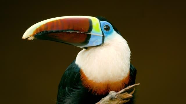 bunten tukan auf baum in einem naturresort steht. tropische vögel in den amazonas-dschungel. - tropischer regenwald stock-videos und b-roll-filmmaterial