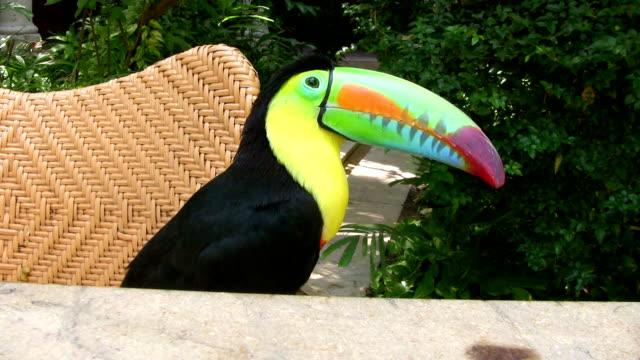 vídeos de stock, filmes e b-roll de hd: tucano colorido - tucano toco