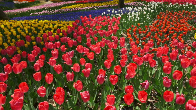 Colorful Tulip bloom dolly motion