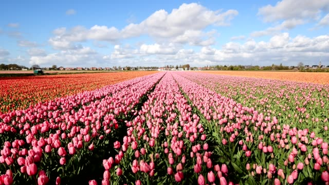colorful tulip fields in springtime, hillegom, bollenstreek, south holland, netherlands - tulip stock videos and b-roll footage
