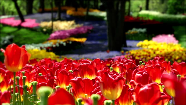 Colorful tulips and lavenders in a park