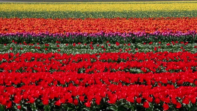 colorful tulips flower fields and windmill in springtime, lisse, bollenstreek, south holland, netherlands - tulip stock videos and b-roll footage