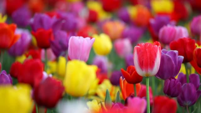 vidéos et rushes de tulipes colorées en haute définition - multicolore