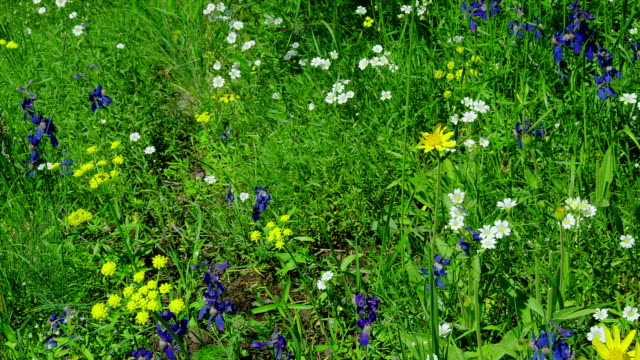 colorful wildflowers bloom in a sunny meadow. - us glacier national park stock videos & royalty-free footage