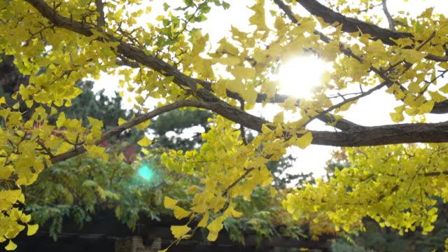 bunt gelb ginko blätter ast baum mit blauem himmel in showa kinen park, tokyo, japan - ginkgobaum stock-videos und b-roll-filmmaterial