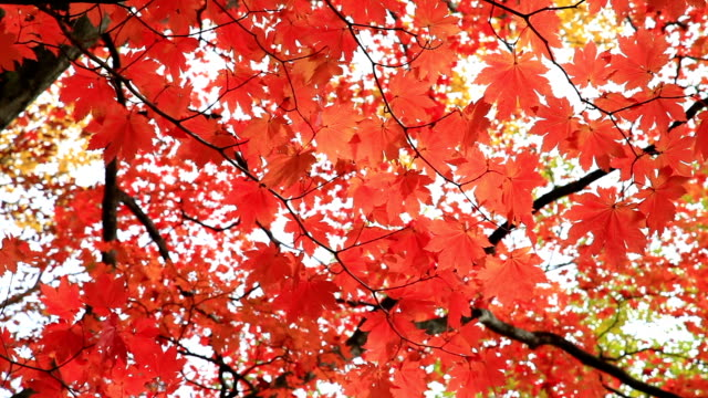 Colorfull autunno albero nikko Giappone