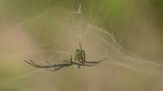 cu r/f colorfull spider hanging on spider webb / japan - 動物の色点の映像素材/bロール