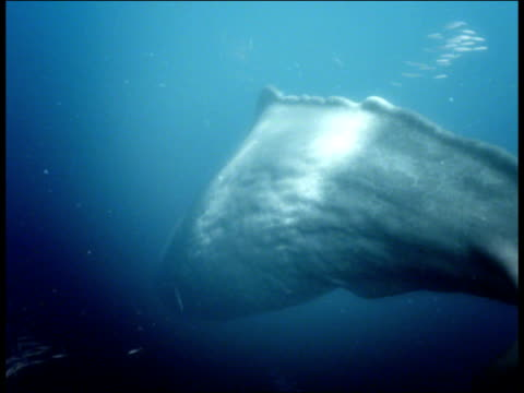 a colossal squid chases down a sperm whale. - sperm whale stock videos & royalty-free footage