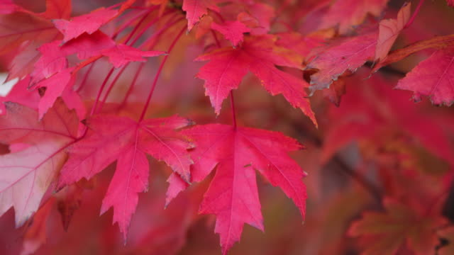 colourful autumn leaves in melbourne - maple leaf stock videos and b-roll footage