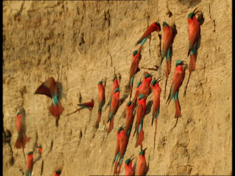 colourful carmine bee-eaters hover near perched birds on the side of a cliff. - perching stock videos & royalty-free footage