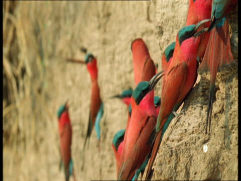 colourful carmine bee-eaters perch on the side of a cliff. - perching stock videos & royalty-free footage