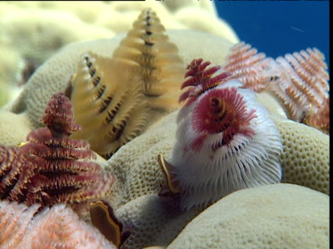 colourful christmas tree worms on coral, tonga - sea worm stock videos & royalty-free footage