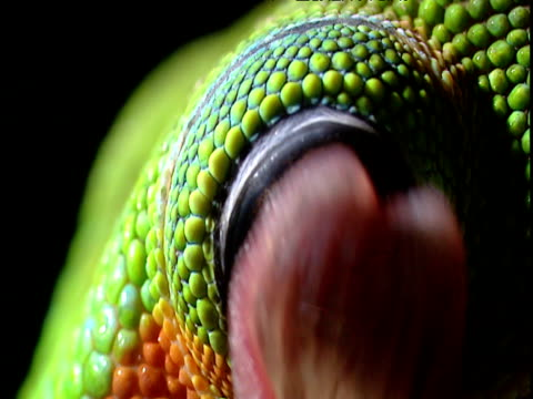 vídeos de stock, filmes e b-roll de colourful day gecko licks its eyeball, madagascar - olho de animal