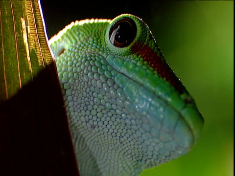 colourful day gecko peers off of leaf, madagascar - farynx stock videos and b-roll footage