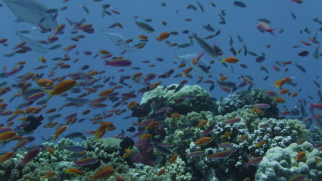 colourful fish swim over coral reef, fiji - variation stock videos & royalty-free footage