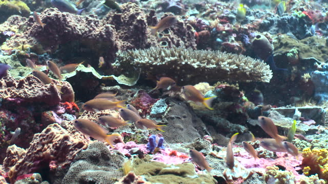 colourful fish swim over reef, bali. - anthias fish stock videos & royalty-free footage