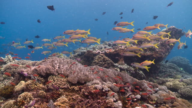 colourful fish swim over reef, bali. - triglia tropicale video stock e b–roll
