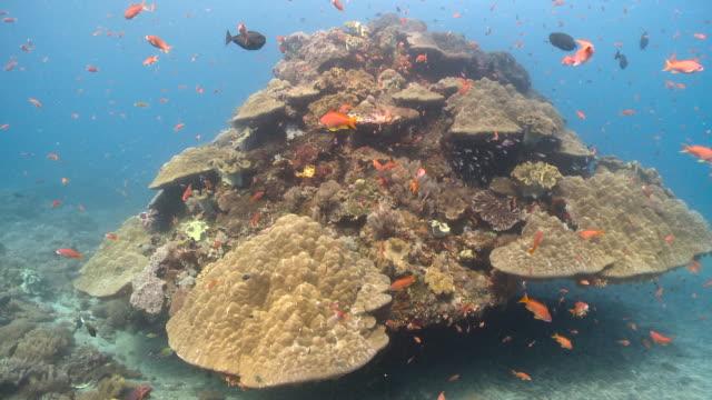 colourful fish swim over reef, bali. - anthias fish stock videos & royalty-free footage