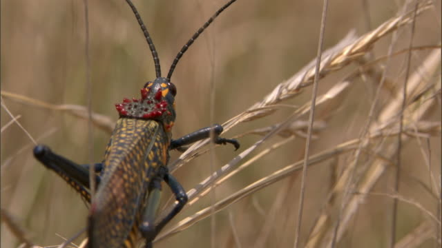 colourful giant rainbow locust (phymateus saxosus) takes off, madagascar - 昆虫点の映像素材/bロール