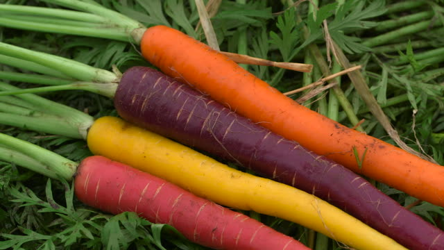 colourful heirloom carrot crop, uk - ripe stock videos & royalty-free footage