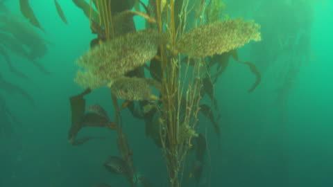 vídeos y material grabado en eventos de stock de colourful kelp branches sway in the ocean's current. available in hd. - kelp