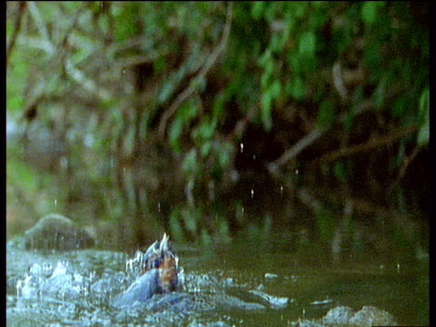 vídeos de stock, filmes e b-roll de colourful kingfisher dives through water to catch fish underwater then surfaces with fish it its beak and flies off, uk - pegar