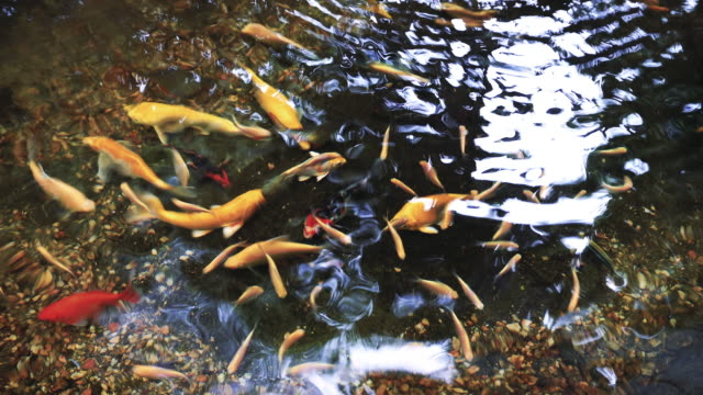 Colourful koi fish swimming in the pond.