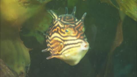 vídeos y material grabado en eventos de stock de a colourful little striped fish hides among swaying kelp. available in hd. - kelp