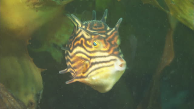 a colourful little striped fish hides among swaying kelp. available in hd. - seetang stock-videos und b-roll-filmmaterial