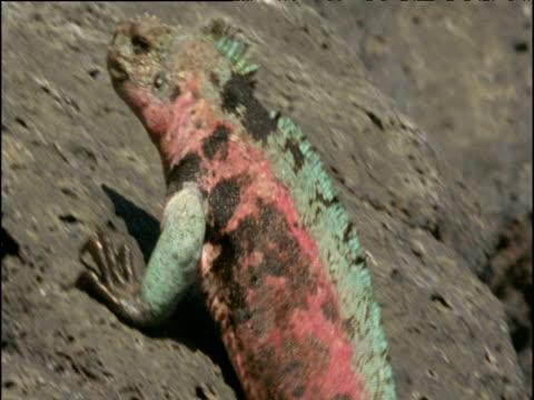 Colourful male marine iguana clambers up rocks, Galapagos Islands