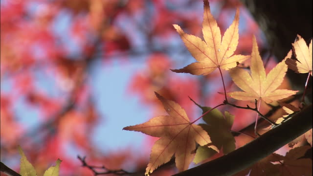 colourful maple leaves flutter in autumn breeze - bigleaf maple stock videos and b-roll footage