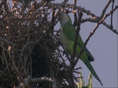 A colourful monk parakeet constructs its nest with sticks.