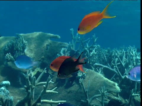 Colourful reef fishes swim over coral, Tonga