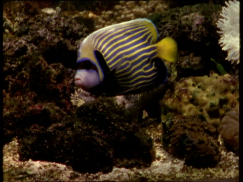 colourful stripy patterned emperor angelfish forages on coral and swims away to the right. - animal markings stock videos & royalty-free footage