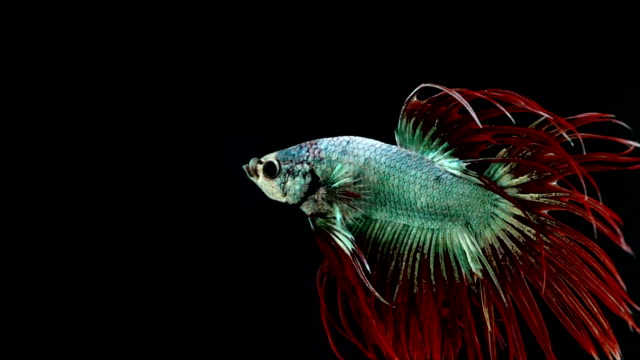 Colourful Thai Fighting Fish