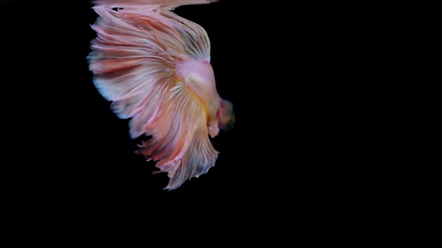 colourful thai fighting fish - siamese fighting fish stock videos and b-roll footage