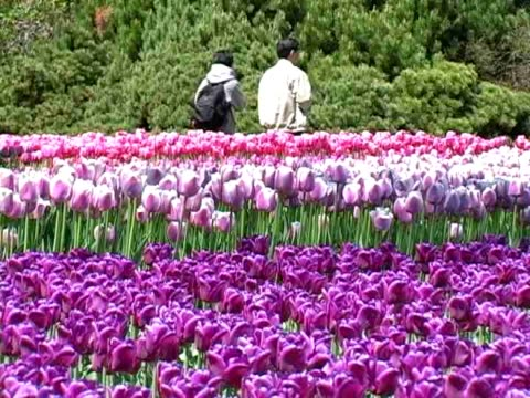 colourful tulips - lily family stock videos & royalty-free footage