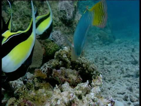 colourful wrasse and moorish idols feed on coral reef, sulawesi - moorish idol stock videos and b-roll footage