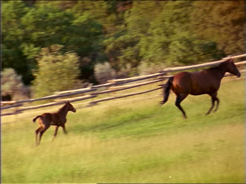 PAN colt + mother running in fenced-in grassy field