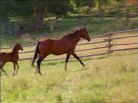 PAN colt + mother trotting then walking in fenced-in grassy field