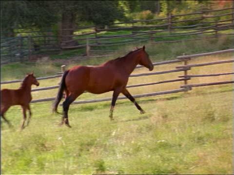 pan colt + mother trotting then walking in fenced-in grassy field - 草食性点の映像素材/bロール
