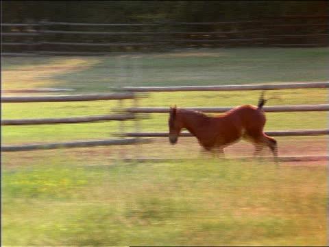 pan colt running alongside fence in grassy field - 草食性点の映像素材/bロール
